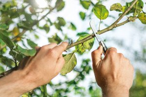 Hooked grafting knife