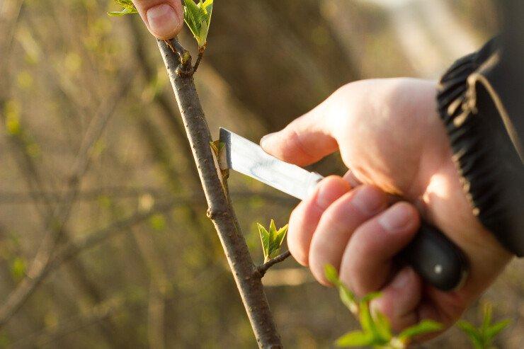 Nóż ogrodowy - okulizak